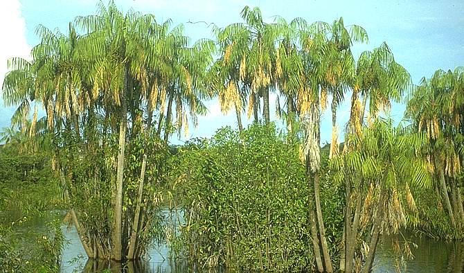 LON-CAPA Botanik online: Liliopsida - Arecidae: Arecaceae
