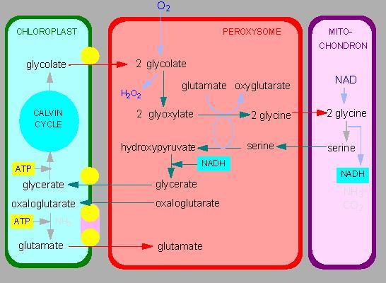 Glyoxysomes