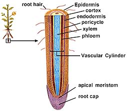 Anatomy of a typical dicot root