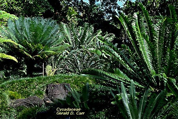 LON-CAPA Non-Flowering Plant Families, UH Botany